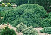 Larix decidua 'Corley' / flach wachsende Zwerglärche
