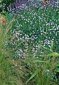 Amsonia tabernaemontana var. salicifolia (Amsonie, Röhrenstern)