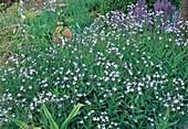 Amsonia orientalis / Orientalischer Blaustern