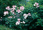 Rosa floribunda 'Rush' - Floribundarose , öfterblühend, fruchtiger Duft