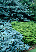 Picea pungens 'Koster' (Blaufichte) , Abies koreana 'Green Carpet' (Kriechende Koreatanne)