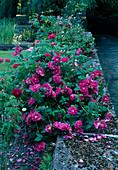 Rosa gallica officinalis (Apothekerrose), intensiver Duft , Rosa gallica 'Tuscany' (Samt-Rose) bewachsen Gartenmauer
