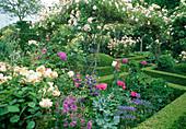 Rosa 'New Dawn' (Kletterrose), gesund, öfterblühend, leichter Apfelduft an Rosenbogen, Beete mit Buxus (Buchs) Einfassungen und Formschnitt , Allium giganteum (Zierlauch), Campanula (Glockenblumen), Rosen, Papaver somniferum (Schlafmohn)