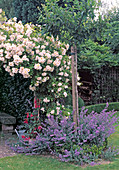 Rosa ' Lykkefund'(Ramblerrose , Kletterrose) einmalbluehend mit gutem Duft, Nepeta (Katzenminze)