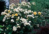 Rosa 'Ghislaine de Feligonde' (Historische Ramblerrose), oefterbluehend, leichter Duft, gelbe Rose 'Golden Holstein'