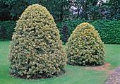 Ilex aquifolium 'Golden King'hinten, 'Silver Queen'vorne (Stechpalmen) kegelförmig geschnitten