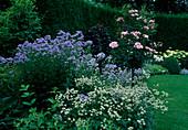 Astrantia 'Margery Fish' (Sterndolde), Rosa 'Bonica' (Kleinstrauchrose) Staemmchen, Campanula lactiflora 'Blue Caddy' (Glockenblumen)