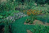 Bauerngarten mit Sommerblumen und Gemüse, Trifolium repens (Weiss-Klee) als Rasenersatz auf dem Weg