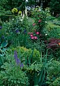 Clematis 'Ville de Lyon'(Waldrebe) wächst an Strauch, Aconitum napellus (Eisenhut), Iris sibirica (Wieseniris), Buxus (Buchs), Acer palmatum (Schlitzahorn), Digitalis (Fingerhut) und Rosa (Rosen)