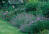 Aster amellus (Bergaster), Nepeta (Katzenminze), Verbena bonariensis (Eisenkraut), Knautia macedonica (Witwenblume), kleine Gartenlaube