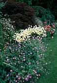 Geranium (Storchschnabel), Leucanthemum (Margeriten), Erigeron karvinskianus 'Blütenmeer' (Spanisches Gänseblümchen), Acer palmatum 'Dissectum Garnet'(Schlitzahorn)