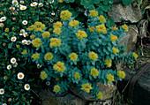 Rhodiola rosea (Rosenwurz)