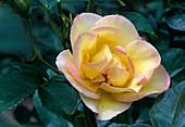 Rosa 'Clos Fleuri Jaune'syn. 'Centennaire de Lourdes Jaune' , Floribundarose, öfterblühend, schwach duftend