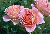 Rosa 'Abraham Darby' Englische Rose, Strauchrose, öfterblühend, guter Duft