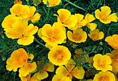 Eschscholzia californica 'Yellow' / Kalifornischer Goldmohn, Schlafmützchen
