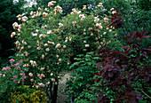 Rosa 'Ghislaine de Feligonde' Kletterrose, Ramblerrose, öfterblühend, duftend, einfach hinreißend, im Vordergrund Cotinus coggygria / Perückenstrauch