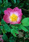 Rosa 'Amy Robsart' Strauchrose, einmalblühend, Duft nach Äpfeln