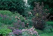 Physocarpus opulifolius 'Diabolo' / Blasenspiere, Geranium 'Biokovo' / Storchschnabel, Salvia officinalis / Salbei, Rosa / Bodendeckerrose