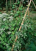 Humulus japonicus 'Variegatus'(Weissbunter Hopfen), Ipomoea tricolor (Prunkwinde), Ammi visnaga (Knorpelmöhre)