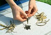 Samenernte von Eschscholzia californica (Kalif. Kappenmohn) 2. Step: Aufbrechen und Ausstreifen der Samenschote auf ein sauberes Tuch 2/6