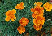 Eschscholzia californica 'Ballerine varié' / Kalifornischer Goldmohn, Schlafmützchen
