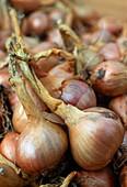 Allium ascalonicum 'Mikor' / Küchenzwiebel, Schalotte