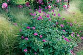 Geranium Psilostemon-Hybride 'Patricia' - Armenischer Storchschnabel, Stipa tenacissima / Haargras, Federgras