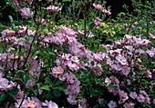 Rosa 'Lavender Dream' Bodendeckerrose, öfterblühend, leicht duftend