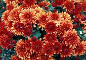 Dendranthema-Hybr. 'Persan brown' / Herbstchrysantheme