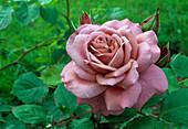 Rosa 'Magenta', Beetrose, Floribundarose, öfterblühend, Duft