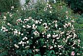 Rosa 'Little White Pet', Kleinstrauchrose, Bodendeckerrose, öfterblühend, schwacher Duft