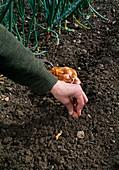 Allium ascalonicum (= A. cepa) / Schalotten setzen