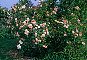 Rosa 'Ghislaine de Feligonde' Kletterrose, öfterblühend, gut duftend