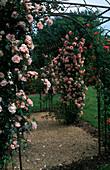 Rosa 'Albertine' Kletterrose, einmalblühend, gut duftend