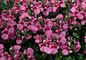 Diascia barberae 'Antique Rose' (Elfensporn)