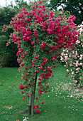 Rosa 'Sodenia' Kletterrose, Ramblerrose, einmalblühend, schwacher Duft, hier als Kaskadenrose