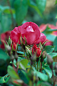 Rosa 'Anne de Bretagne' Strauchrose, öftrblühend, kaum duftend