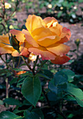 Rosa 'Philippe Noiret' Teehybride, öfterblühend, wenig Duft