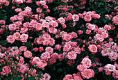 Rosa / Rose 'Bella Rosa' / Floribundarose, öfterblühend, guter Duft, Beetrose