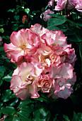 Rosa / Rose 'Cocorico' syn. 'Birthday Girl', Beetrose, öfterblühend, Duft