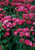 Rosa / Rose 'Joseph Guy' syn. Lafayette', Floribundarose, öfterblühend, leichter Duft