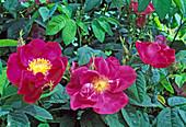 Rosa gallica officinalis, Apothekerrose, einmalblühend, guter Duft