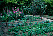 Gemüsegarten : Erbsen (Pisum sativum), Möhren, Karotten (Daucus carota), Kohl (Brassica), Artischocken (Cynara), Zwiebeln (Allium cepa), Rosa (Rosen) und Digitalis (Fingerhut)