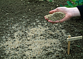 Petroselinum / Petersilien Aussaat 1/3 Samen mit Sand mischen zur besseren Verteilung