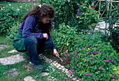 Mit einer kleinen Kralle die Erde lockern und Unkraut im Staudenbeet entfernen, Geranium (Storchschnabel), Campanula (Glockenblumen)