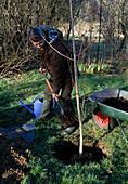 Baum pflanzen: Ginkgo biloba / Fächerbaum 4/5 Pflanzloch mit der Erdmischung füllen, antreten