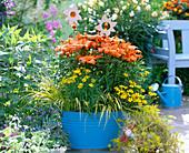 Lilium (orange Lilien)