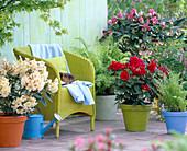 Rhododendron ' Bernstein ' - ' Red Jack ' (Alpenrosen)