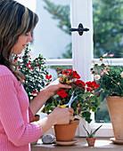 Pelargonium (Geranie)
