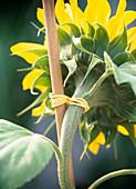 Helianthus annuus (Sonnenblume)